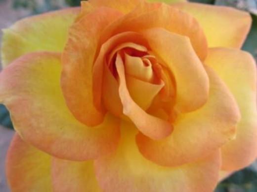 Gold Medal Rose
