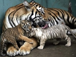 tiger cubs and the mother