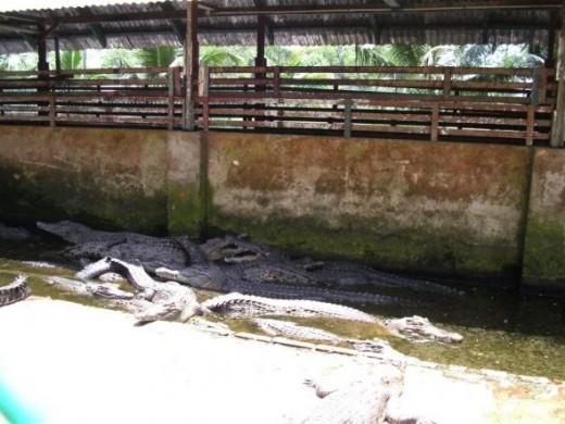 Crocodiles at Miri Crocodiles Farm