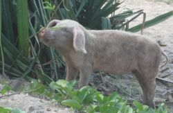 Happy little free-roaming pig at Happy Bay, French St. Martin