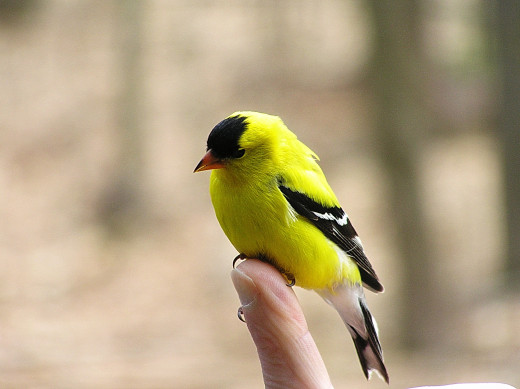 Gold Finch is dazed after flying into a window.