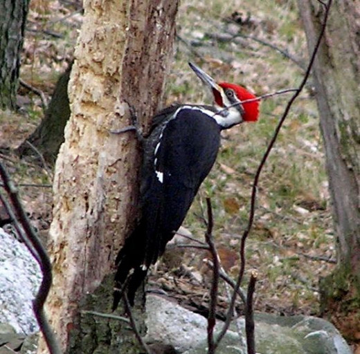I don't see these majestic creatures often lately. Woody Woodpecker got his name from the Pileated Woodpecker.