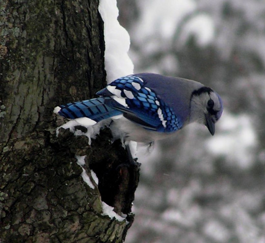 Taken from inside the house. Winter Blue Jay