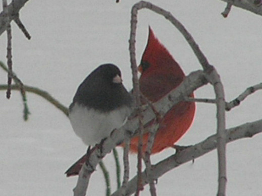 An odd pair shelter on bush during winter storm - Northern Cardinal and Junco a/k/a Snow Bird