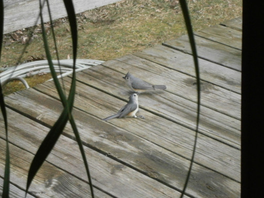 I think the Titmouse is thanking his friend for waking him. Birds do help each other