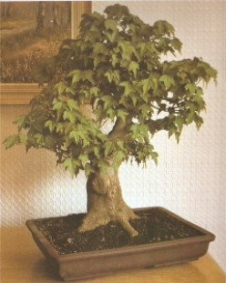 Which Trees are Best for Bonsai?