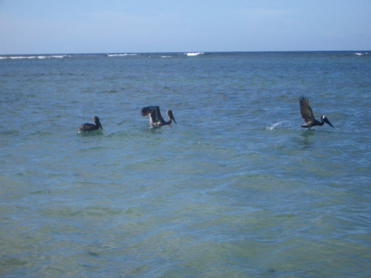 Pelicans Take Flight At Flamenco Beach