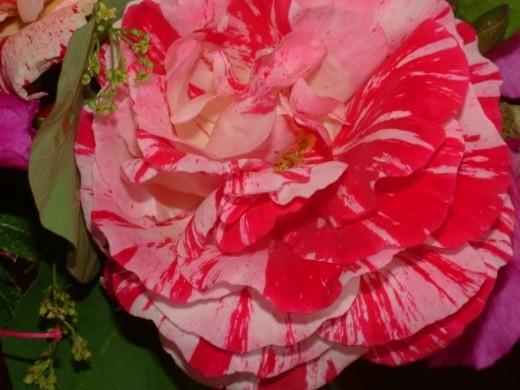 Variegated rose May 2012