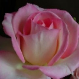 Pink roseMarch 2012