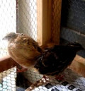Grow your own quails -- they help healing osteoporosis, allergies, cancer, ulcers, heart, slow down aging and  improve s