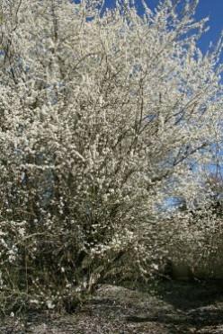 Spring Flowering Trees and Shrubs in my Garden