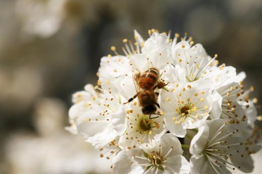 A single Bee Feeding on a Cherry-Plum Blossoms