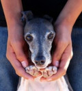 It's a Dog's Life: The Life and Times of Zephyr, a Rescued Italian Greyhound