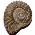 Fossils for kids of all ages