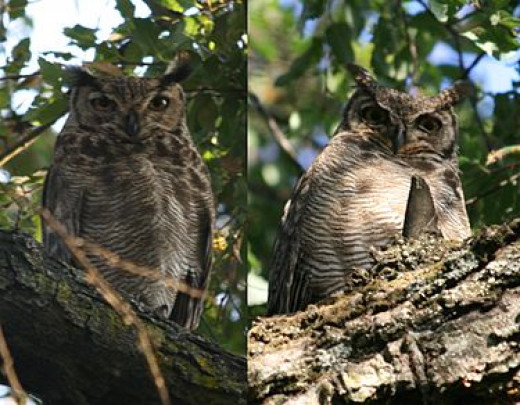 Magellan Horned Owl