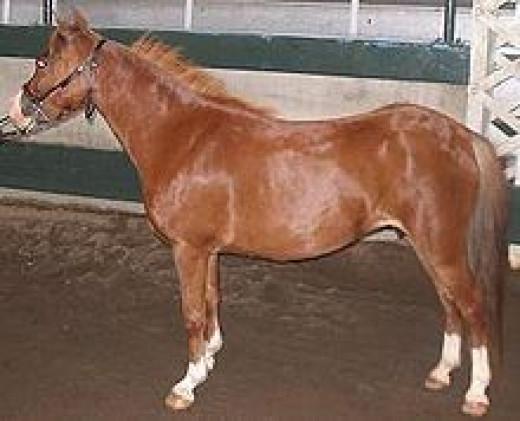 American_Pony             source: Wikipedia