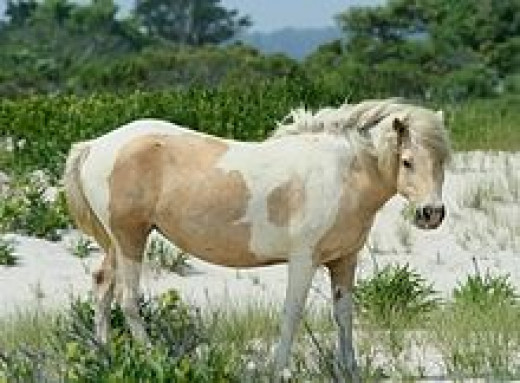 Assateague or Chincoteague Pony