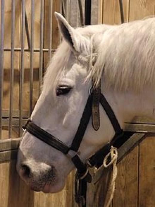 Boulannais horse                       source: Wikipedia