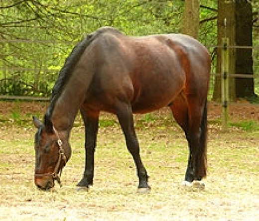 Danish Warmblood Horse           source: Wikipedia
