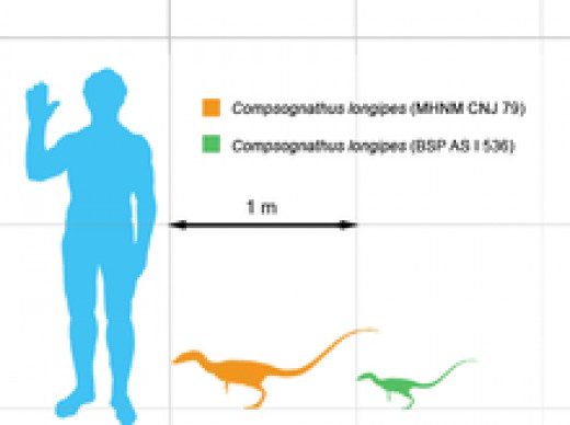 Scale of the Compsognathus    source- Wikipedia