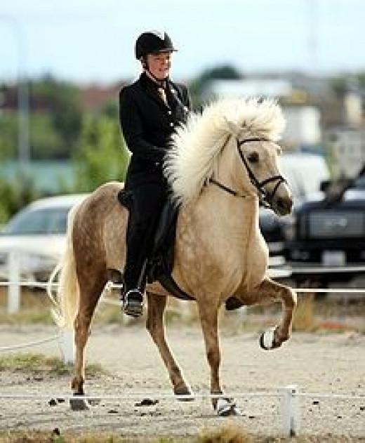Icelandic Horse      source: Wikipedia