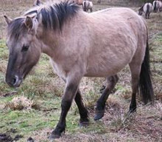 Konic Pony     source: Wikipedia