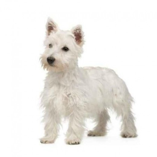 West Highland Terrier - instantly recognisable anywhere.