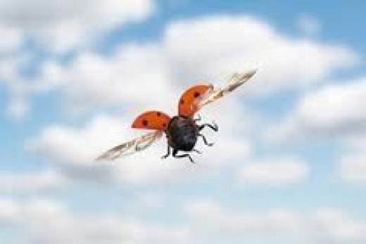 Flying Beetle           source:  interestinganimals.net