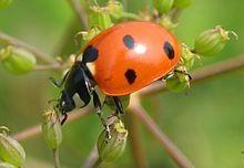 Lady Beetle          source: Wikipedia