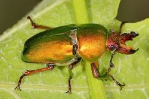 Golden Stag Beetle