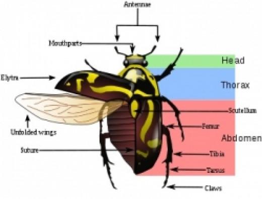 Fiddler Beetle diagram