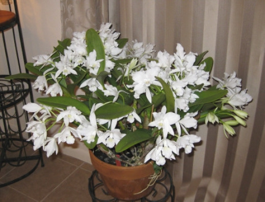 Cattleyas - Last bloom was over 110 flowers - in one pot!.