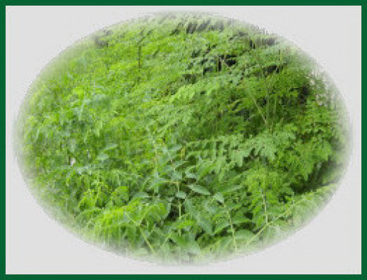 Some of our delicious, edible, Moringa leaves!