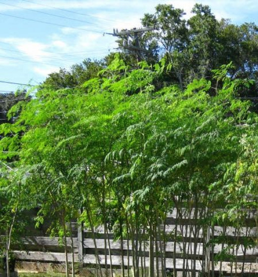Good pruned height for Moringa trees. This height, about 6 feet to 8 feet maximum, makes it easy to harvest all of its bounty.