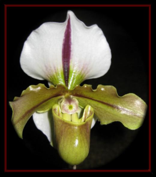 Paphiopedilum Enzan Fruit x spicerianum