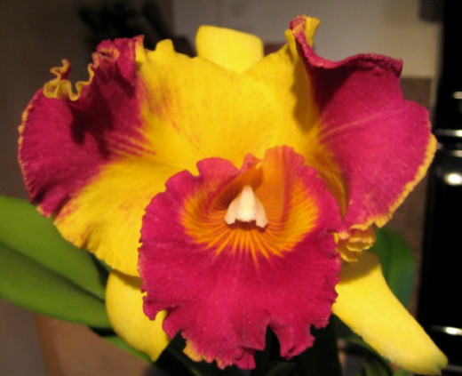 Oh, my word! When this one blooms - it is intensely unbelievable!