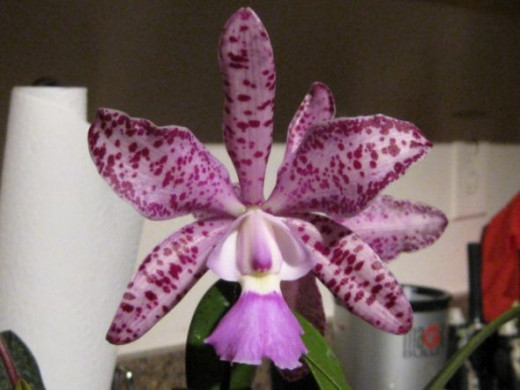 I would swear, if I did, that this half-clown, half-elegant Orchid is really mixed-up!