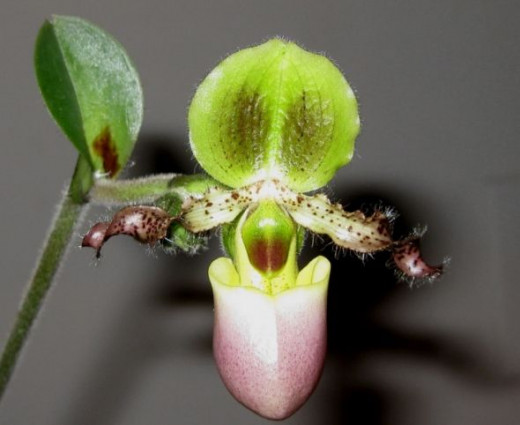 Pinocchio! That's what he's called, but this one, Gepetto didn't make - he has hairy arms, and a pouch! Who ever heard of Pinocchio, with a pouch? At any rate, his pouch comes in handy, as a holding cell for any of the smaller Sink Orchids that get ""