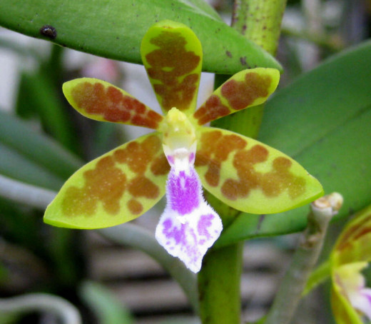 This is our Mime Clown Orchid - she is as quiet as her muted colors!