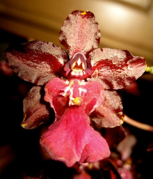 Warrior Orchid to the rescue!