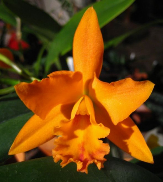 """Is this the long awaited """"Great Pumpkin Orchid""""?"""