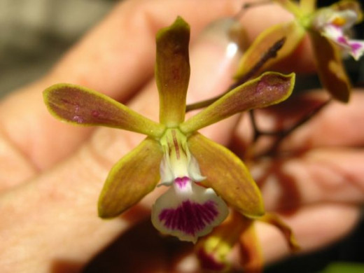 Not the most beautiful Orchid you'll ever see, but it just might be one the the most fragrant ones!