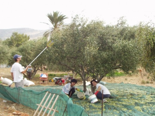 The olive grove only sees activity one day a year
