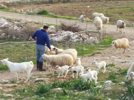 February Sheep