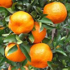 Indoor Mandarin Orange Tree