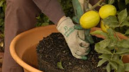Repotting A Dwarf Lemon Tree