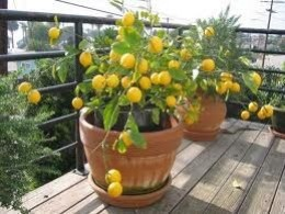 During the warmer months...bring your citrus trees outside!