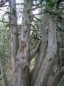 Cedar trees with woodpecker holes.