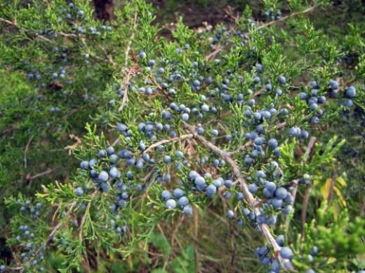 Juniper berries.