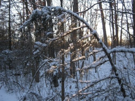 Bent over tree from previous day of freezing rain.